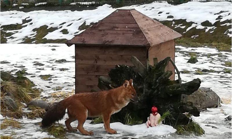 В Ярославском зоопарке с Новым годом поздравили собак