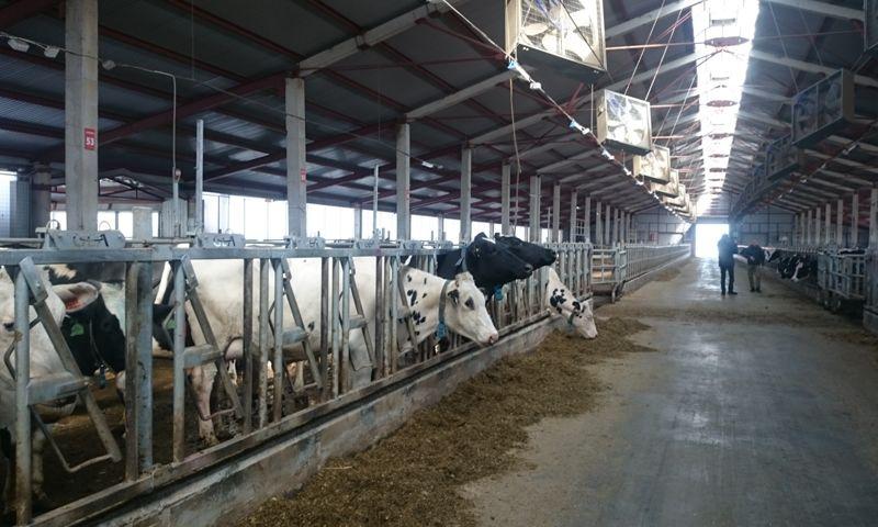 Ярославское предприятие планирует увеличить объемы производства молока до 70 тонн в день