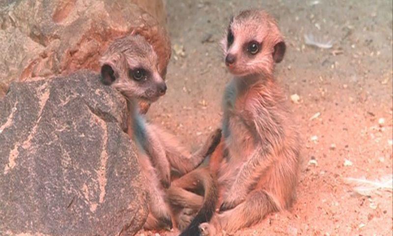 В Ярославском зоопарке показали недавно родившихся сурикатов – видео