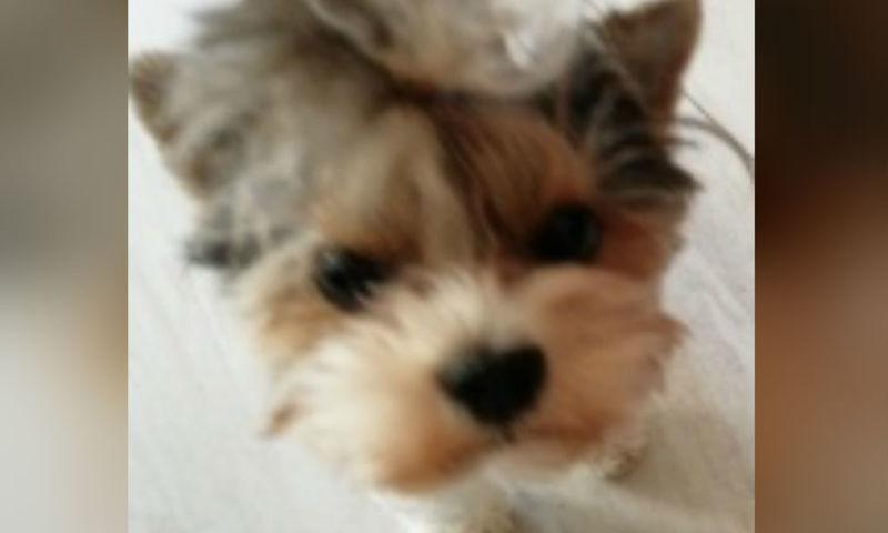 Ярославцев за вознаграждение просят найти потерявшуюся собаку