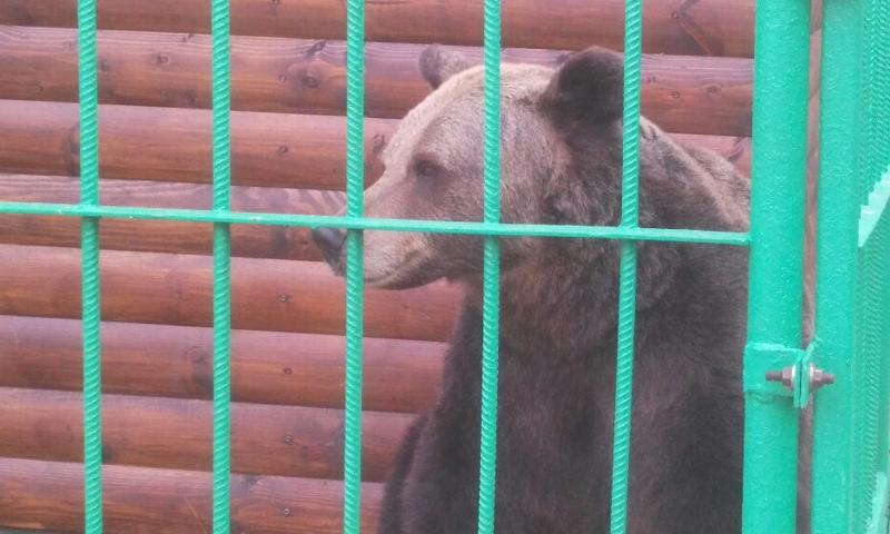 В Ярославле талисман «Локомотива» поздравит медведицу Машу с днем рождения