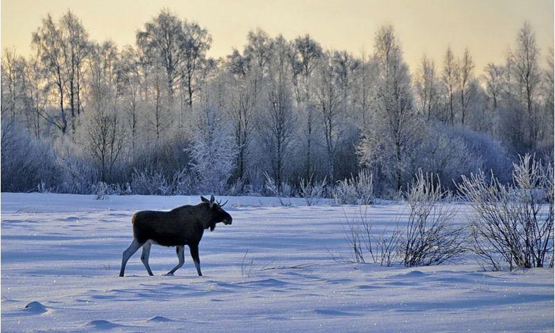Размер ущерба, который придется возместить за незаконную добычу лося, увеличен до 480 тысяч