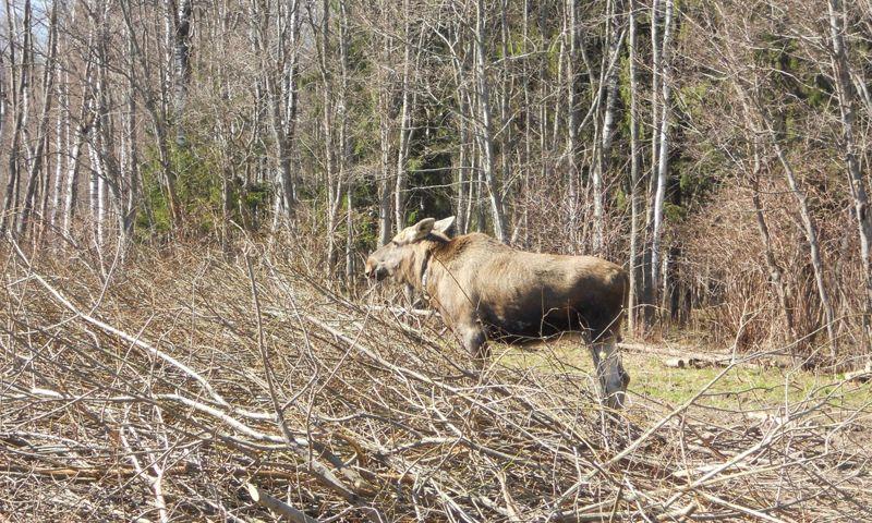 В Рыбинском районе браконьеры застрелили беременную лосиху из окна машины