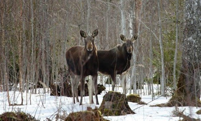 На границе Ярославской области браконьеры застрелили двух лосей