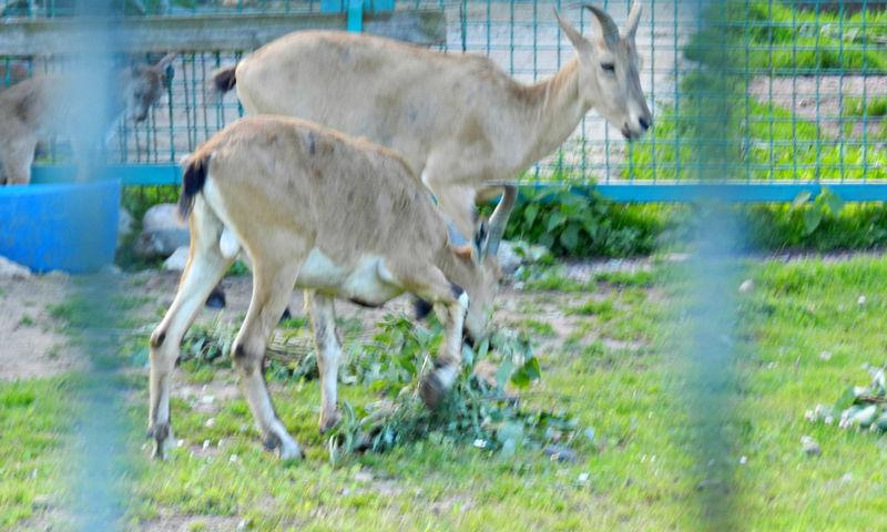 В Ярославском зоопарке беби-бум: малыши появились у лис, туров и канн