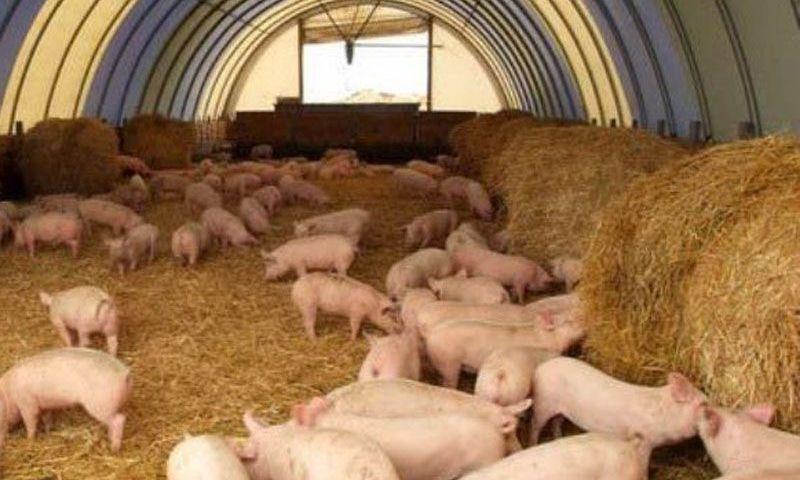 Рыбинец заплатит более 5 миллионов за распространение африканской чумы свиней на Вологодчине