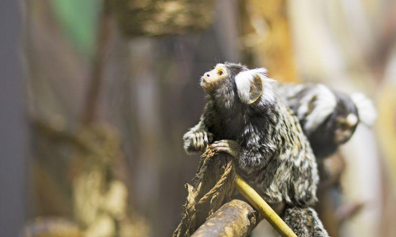 Я тут работаю: почему главный по приматам и лемурам проводит день в вольере