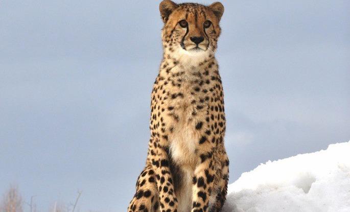 В Ярославском зоопарке гепарду слепили снежного друга: фото