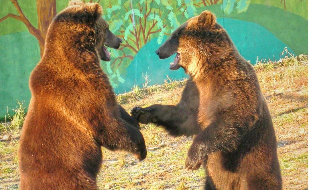 В Ярославском зоопарке вышли из спячки медведи Топа и Умка