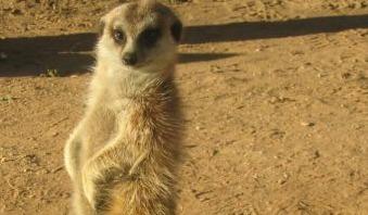 В Ярославском зоопарке родились сурикаты