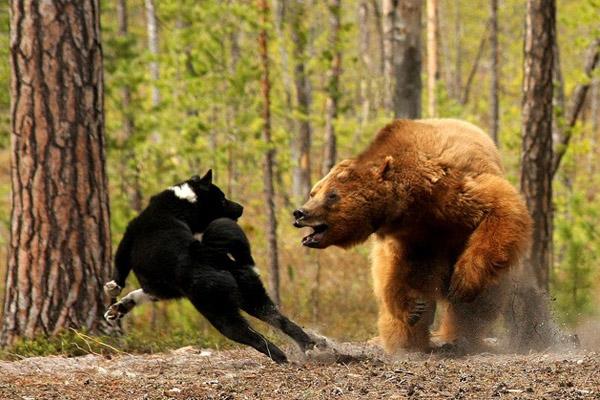 Из кафе на трассе в Ярославской области сбежали два медведя