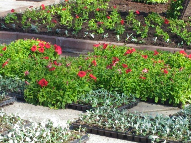 В Рыбинске высадят 35 тысяч однолетних цветов