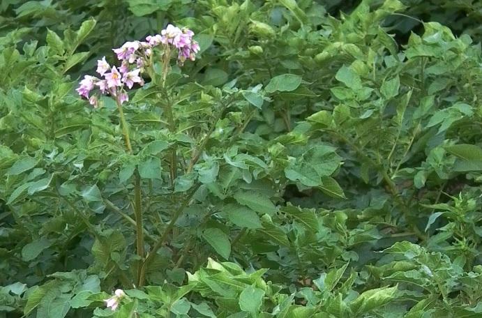 В Ярославле разработали уникальный препарат, защищающий растения от опасных болезней
