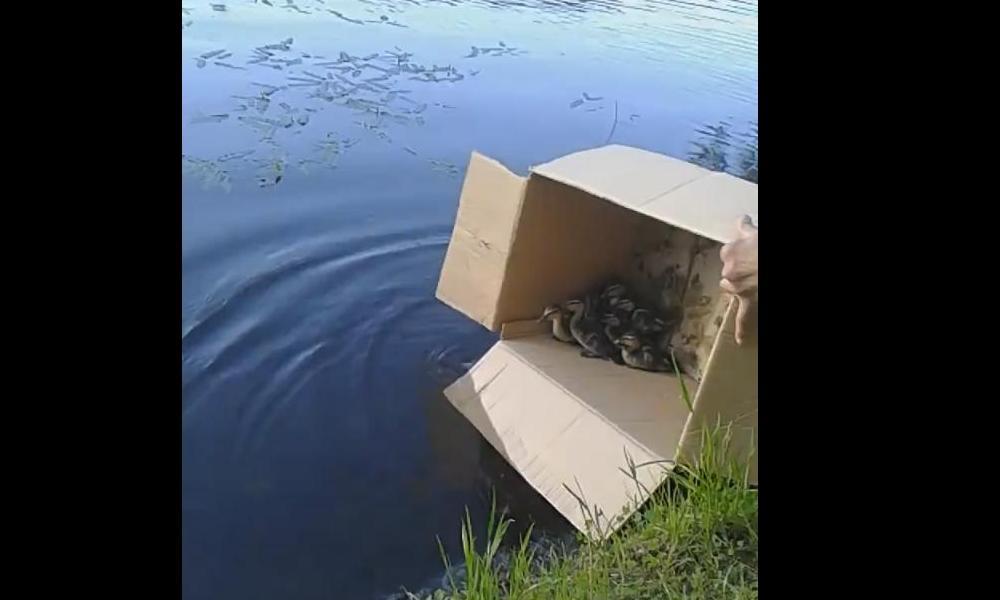 Ярославцы спасли утку с утятами и выпустили в пруд: видео