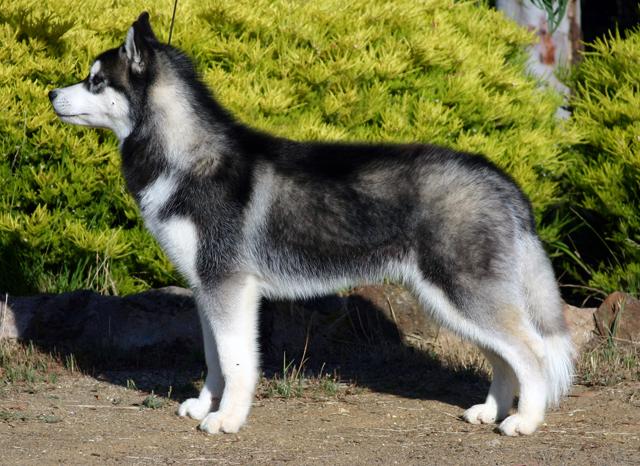 Ярославец похитил у знакомой породистую собаку и попытался ее продать