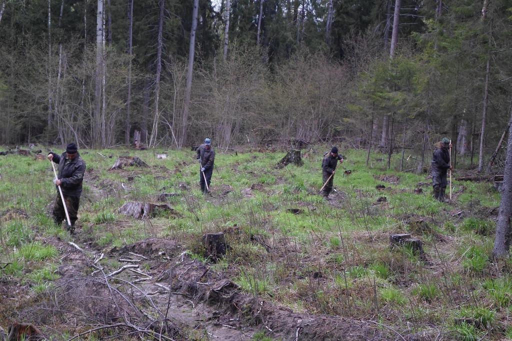 На территории национального парка «Плещеево озеро» высажено более 64 тысяч саженцев ели