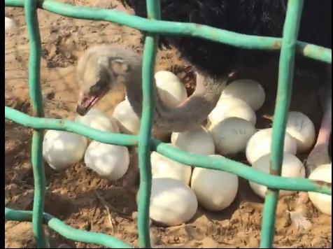 В Ярославском зоопарке вскоре вылупятся страусята