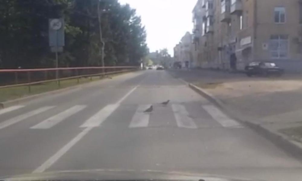 В Рыбинске голуби-пешеходы перешли дорогу по зебре: видео