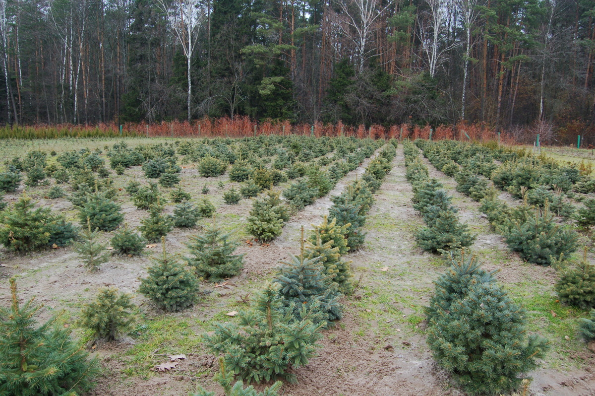 В этом году в лесах региона высадят 7,5 миллиона деревьев, выращенных в местных питомниках