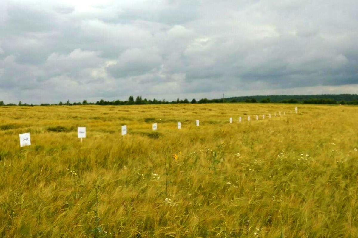 В Ярославской области реализуется пилотный проект по выращиванию пивоваренного ячменя в зоне Нечерноземья
