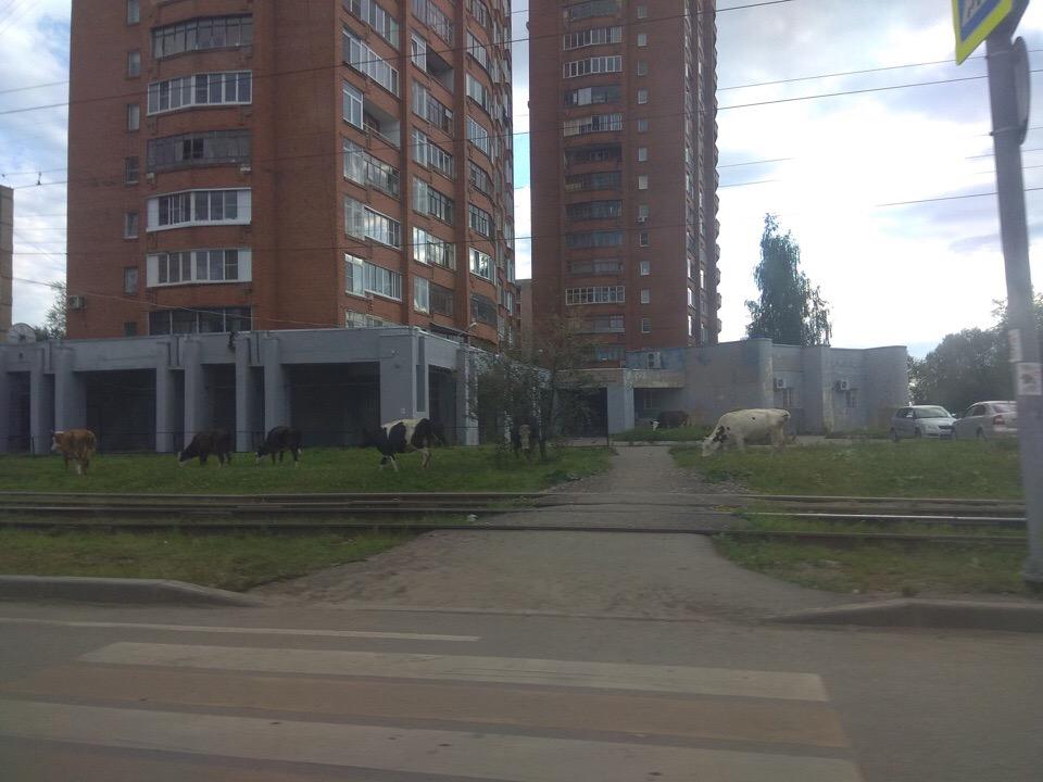 В Ярославле стадо коров паслось во дворе многоквартирного дома