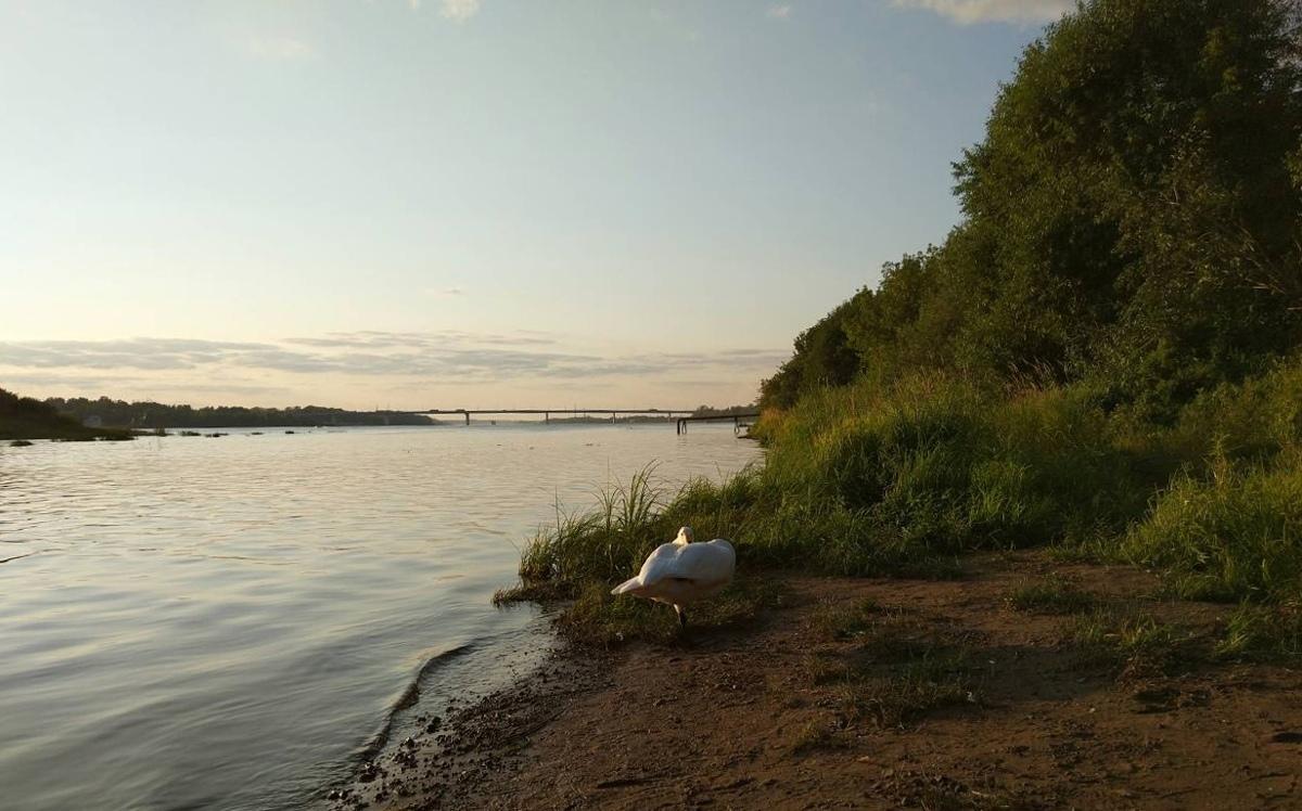 Ручной лебедь-кликун, которого спас ярославец, вернулся домой