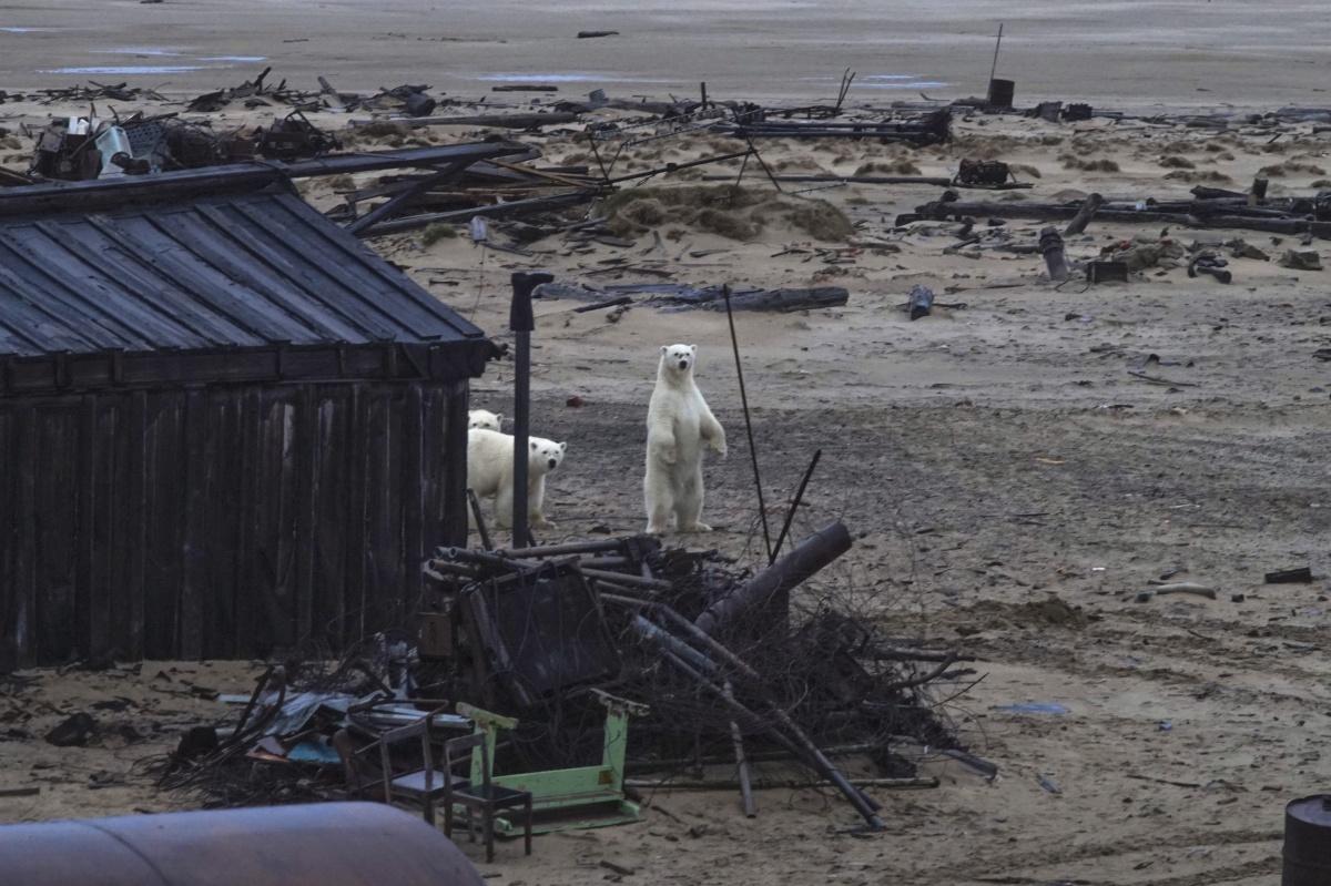 Все на пляж, а он — в Арктику. Как ярославский фотограф испугал на Севере белого медведя