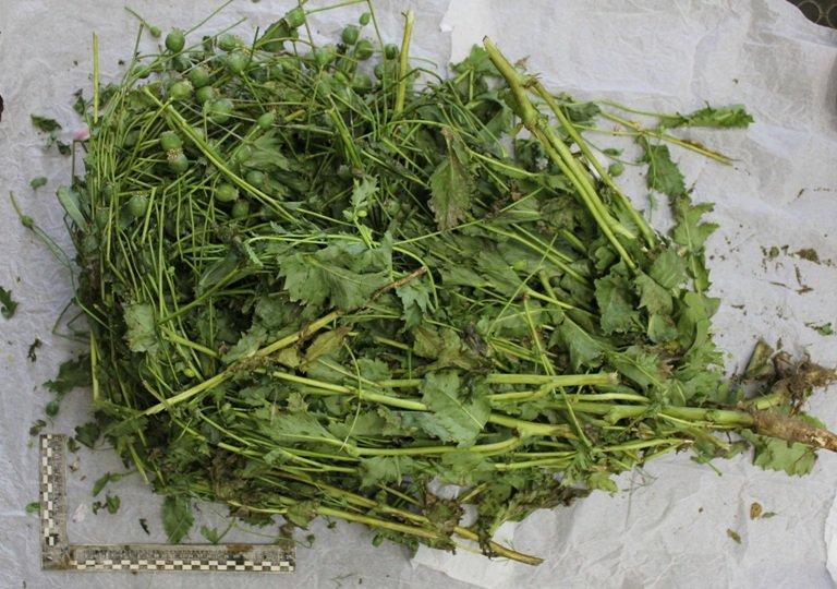 Житель Ярославской области вырастил 152 куста конопли и мака