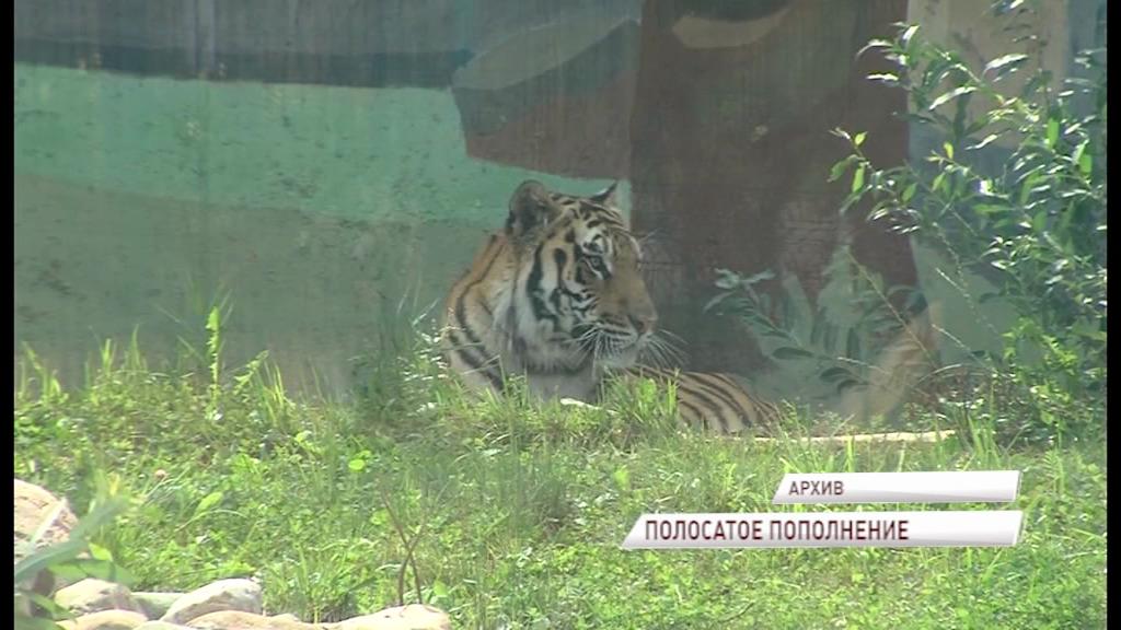 Ярославскому амурскому тигру нашли подружку