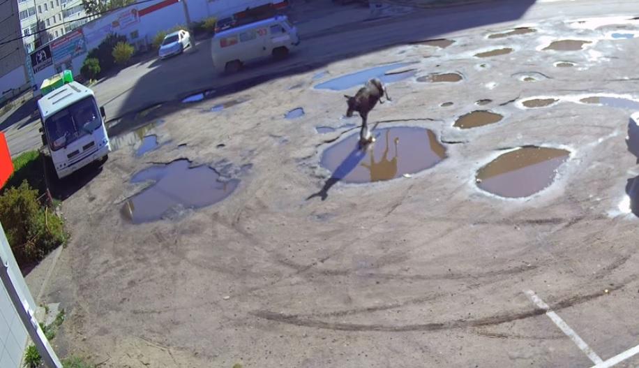 В Тутаеве лось пытался прорваться в мясной магазин и врезался в забор: видео