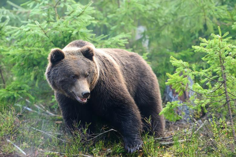 В Ярославской области застрелили медведя, воровавшего мед