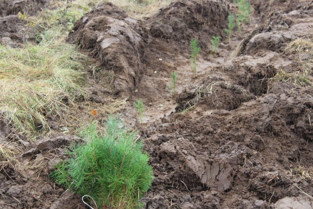 В рамках всероссийской акции в Ярославской области посадят 40 тысяч деревьев