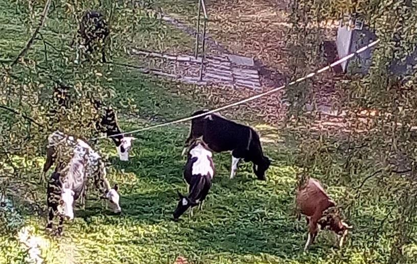 В брагинских дворах в черте Ярославля вновь пасется стадо коров