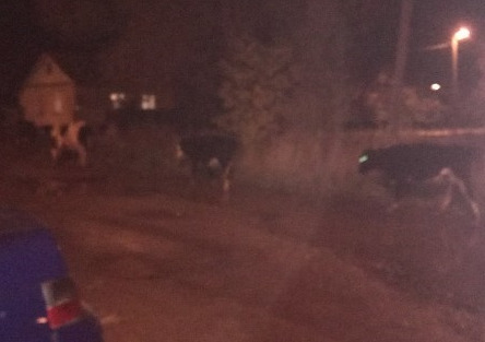 В Ярославской области в черте города гуляло стадо коров: видео