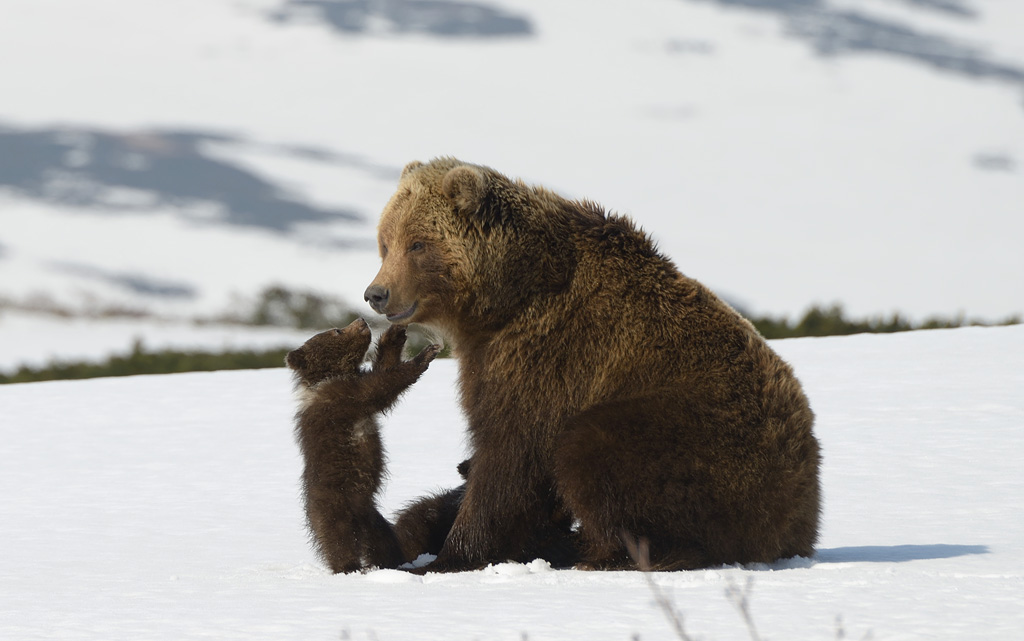 Киномакс покажет фильм «Медведи Камчатки. Начало жизни»