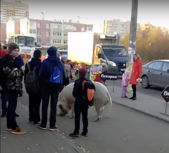 Огромная свинья гуляла по улицам Липовой горы в Ярославле