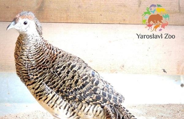 Кеклики и фазаны поселились в Ярославском зоопарке