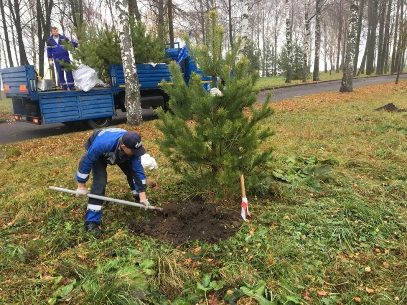 В Волжском парке Рыбинска высадили сосны