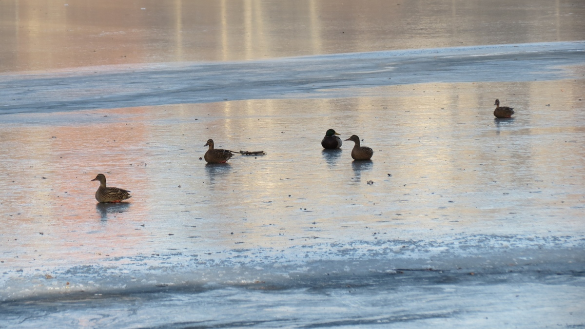 На пруду парка «Нефтяник» в Ярославле утки вмерзли в лед и погибли