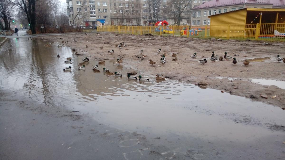 В Рыбинске утки и селезни поселились в луже на тротуаре