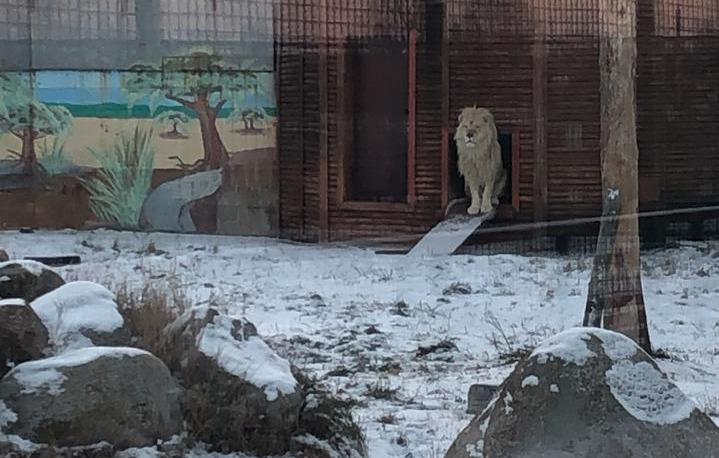 В Ярославском зоопарке погибла белая львица