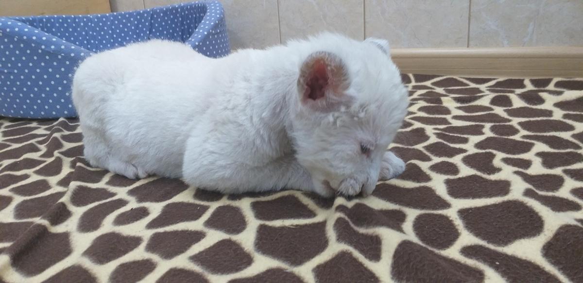 Ярославцы выберут имя для детеныша белого льва