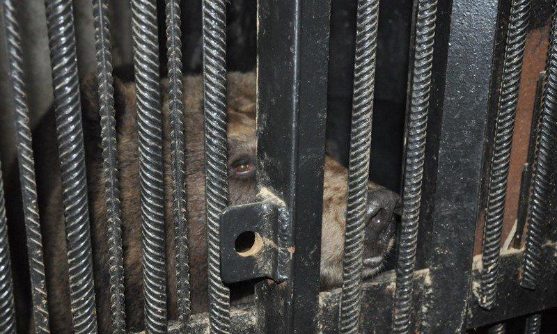 За спячкой ярославских братьев-медведей можно наблюдать онлайн