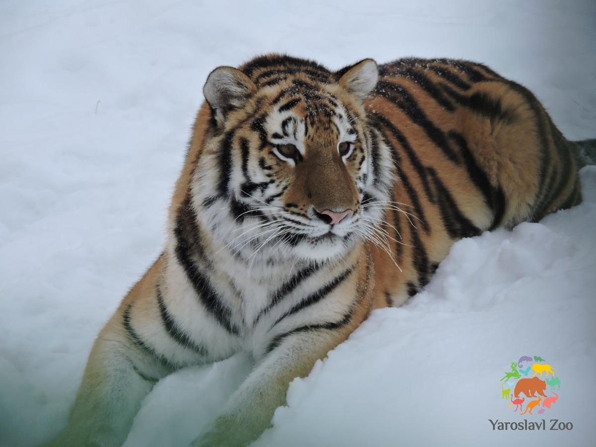 В Ярославский зоопарк прибыла амурская тигрица