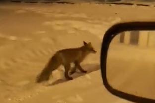 В поселке Константиновский поселились лисы