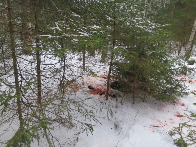 Ярославец заплатит почти полмиллиона рублей за убийство лося