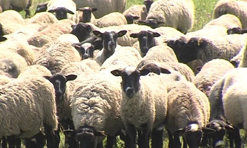В Ярославской области появился первый племенной завод по разведению овец романовской породы