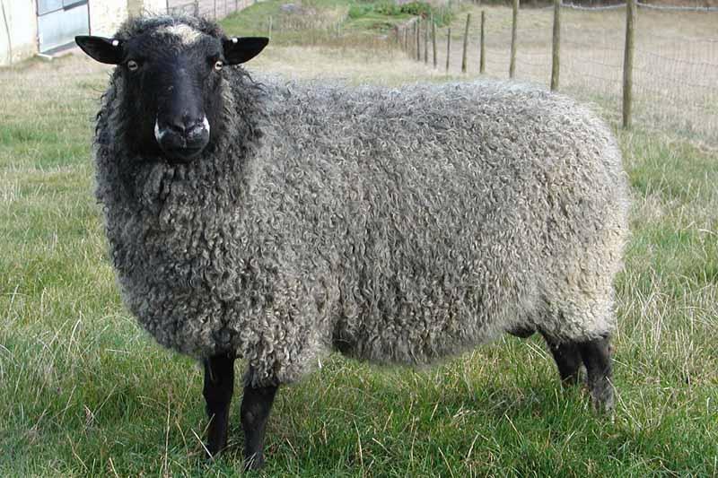 Ярославец украл овцу в подарок другу, но уснул по дороге и был задержан