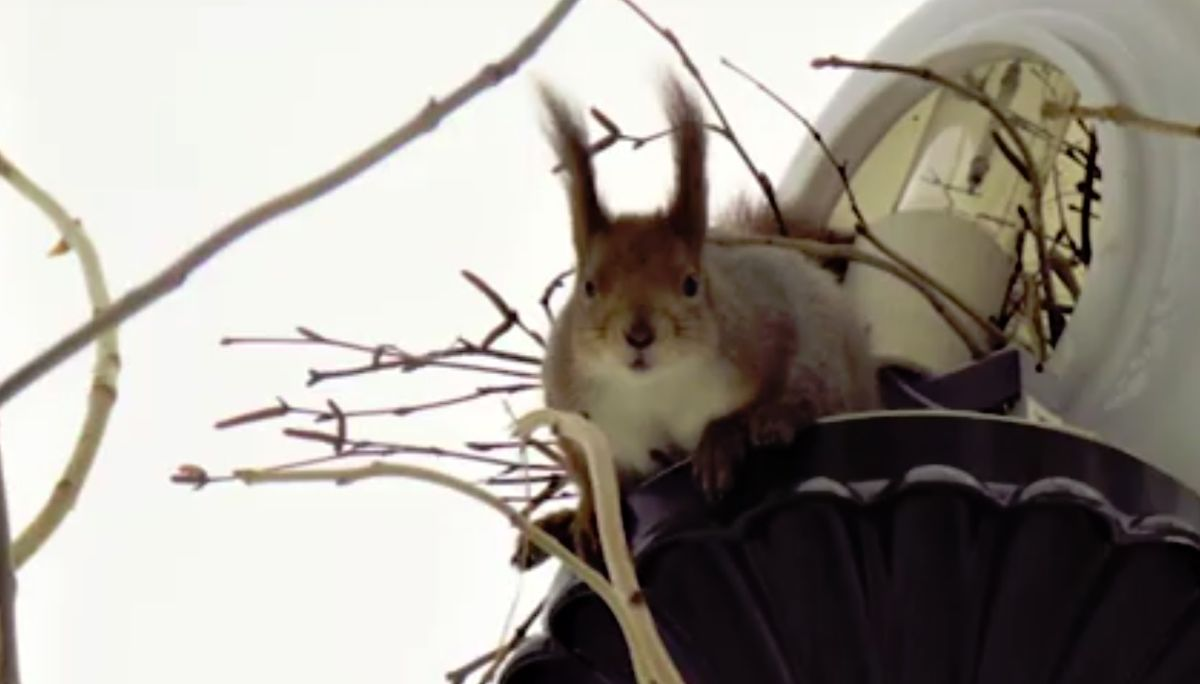Белка свила гнездо в фонаре на Волжской набережной в Рыбинске
