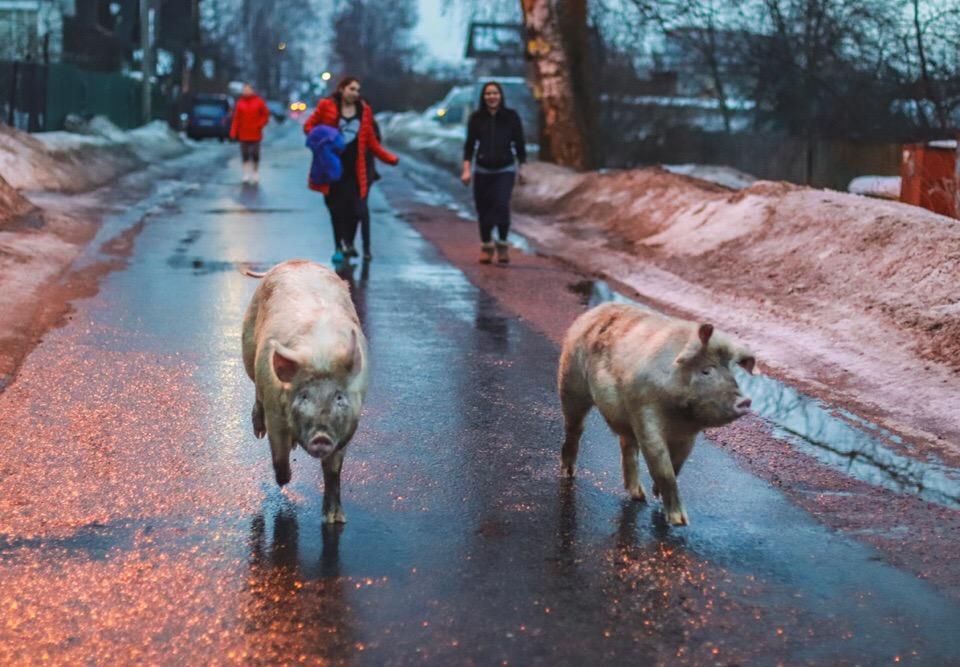 Ярославцев умилили свиньи, разгуливающие по проезжей части в городе